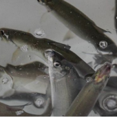 Даёшь лосося Лумболке! Эковолнтёры «Норникеля» выпустили в озеро 4 тысячи мальков!