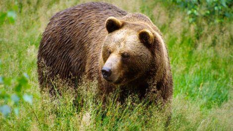 Жителей Умбы предупреждают об агрессивной медведице с медвежатами