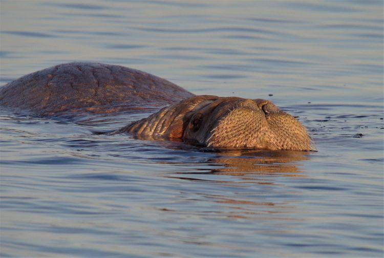 В Кандалакшском заливе впервые за годы наблюдений заметили моржа